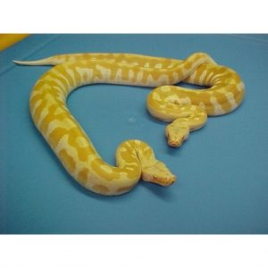 Albino Blood Python T negative