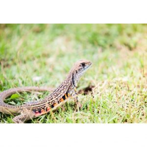 Butterfly Agama