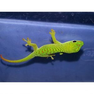 Giant Day Gecko small