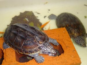 Giant Musk Turtle 2 - 3 inches