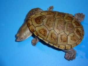 Indonesian Snake Neck Turtle