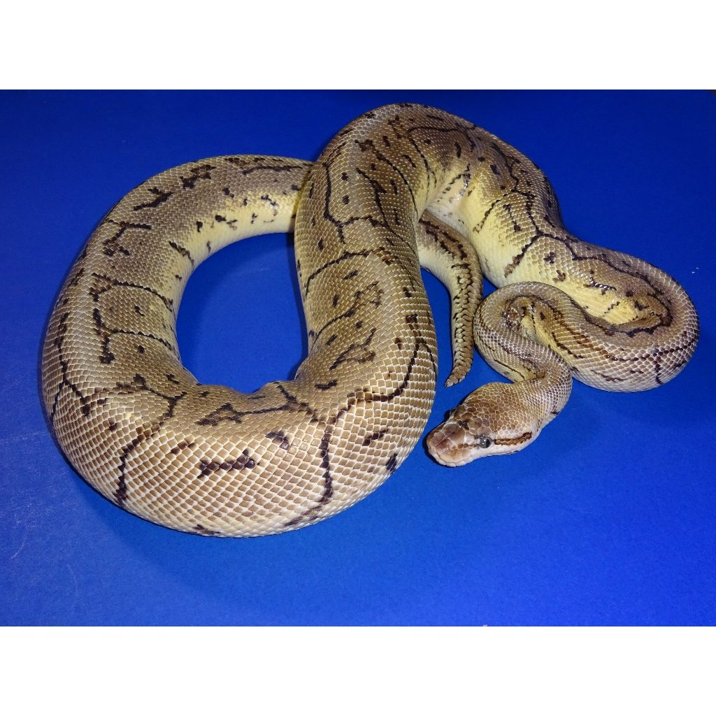 Lemon blast clown ball python