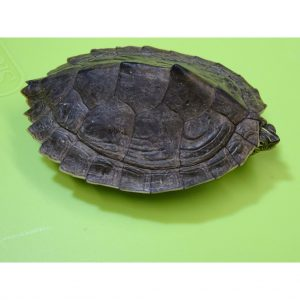Map Turtle 3 - 5 inch