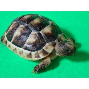 Marginated Tortoise baby