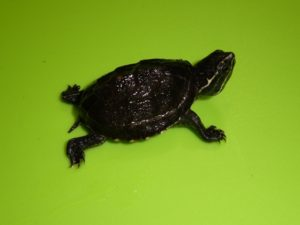 Musk Turtle baby