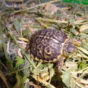Ornate Box Turtle baby