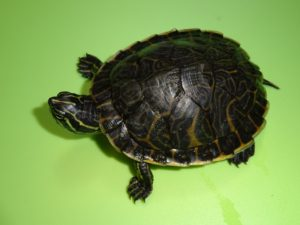 Peninsula Cooter Turtle 3 inch