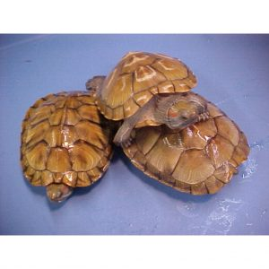 Pet Sliders Red Ear Sliders 4 - 5 inch