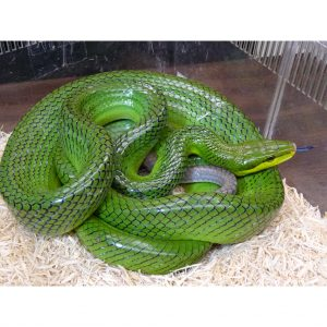 Redtail Green Rat Snake