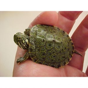 Rio Grande Cooter Turtle baby