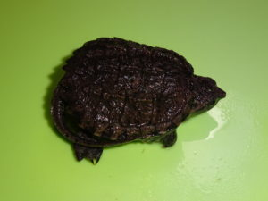 Snapping Turtle Common baby