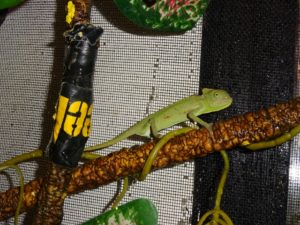 Veiled Chameleon small