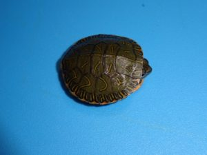 Western Painted Turtle baby