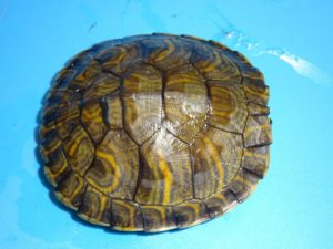Yellow Bellied Slider 4 inch