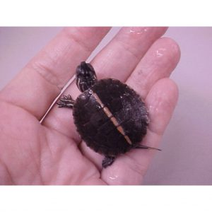 Southern Painted Turtle baby