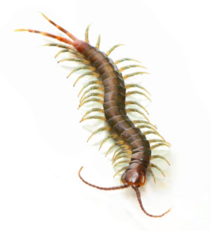 African Long Tailed Centipede