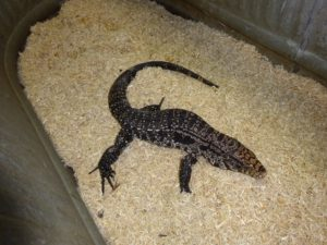 Argentine Black & White Tegu large