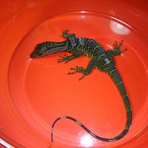 Black Roughneck Monitor