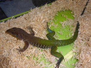 Giant Green Ameiva