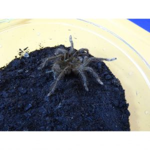 Goliath Pink Foot Tarantula