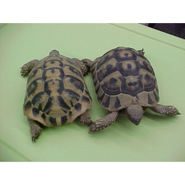 Herman's Tortoise pair