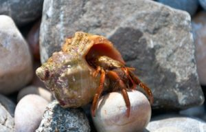 Hermit Crab small - medium
