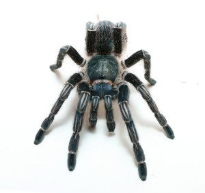 Stripe Knee Tarantula