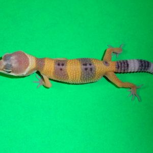 Leopard Gecko normal baby