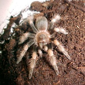Mexican Red Knee Tarantula 4 inch