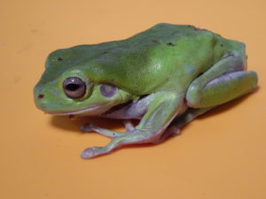 Whites Tree Frog adult