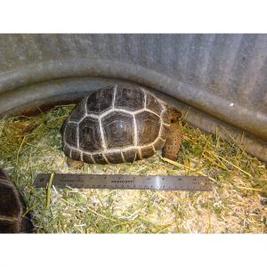 Aldabra Tortoise 9 to 10 inches