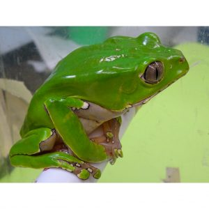 Giant Monkey Tree Frog
