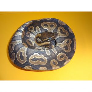 Mystic Ball Python male 600g in shed