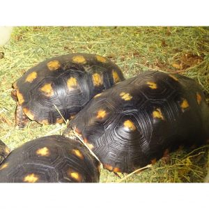 Red Foot Tortoise 10-11 males
