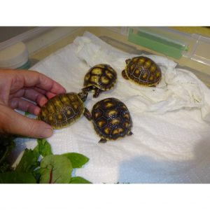 Red Foot Tortoise baby