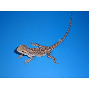 Bearded Dragon 8 - 10 inch