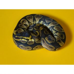 Calico Ball Python male