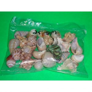 Fancy Shells small 25 lot