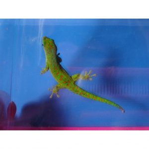 Forest Day Gecko