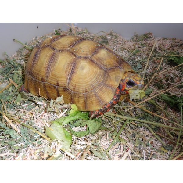 Hypo Red Foot Tortoise 6-7 inch