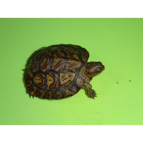 Ornate Wood Turtle c b baby