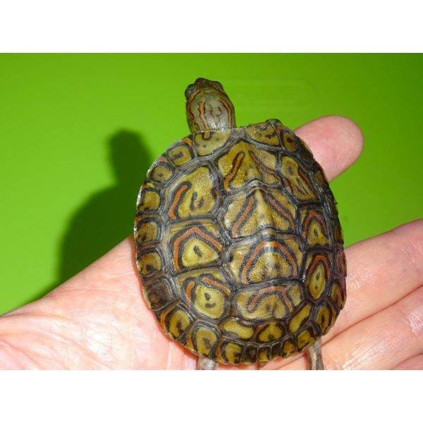 Ornate Wood Turtle baby