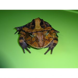 Suriname Horn Frog Brown adult