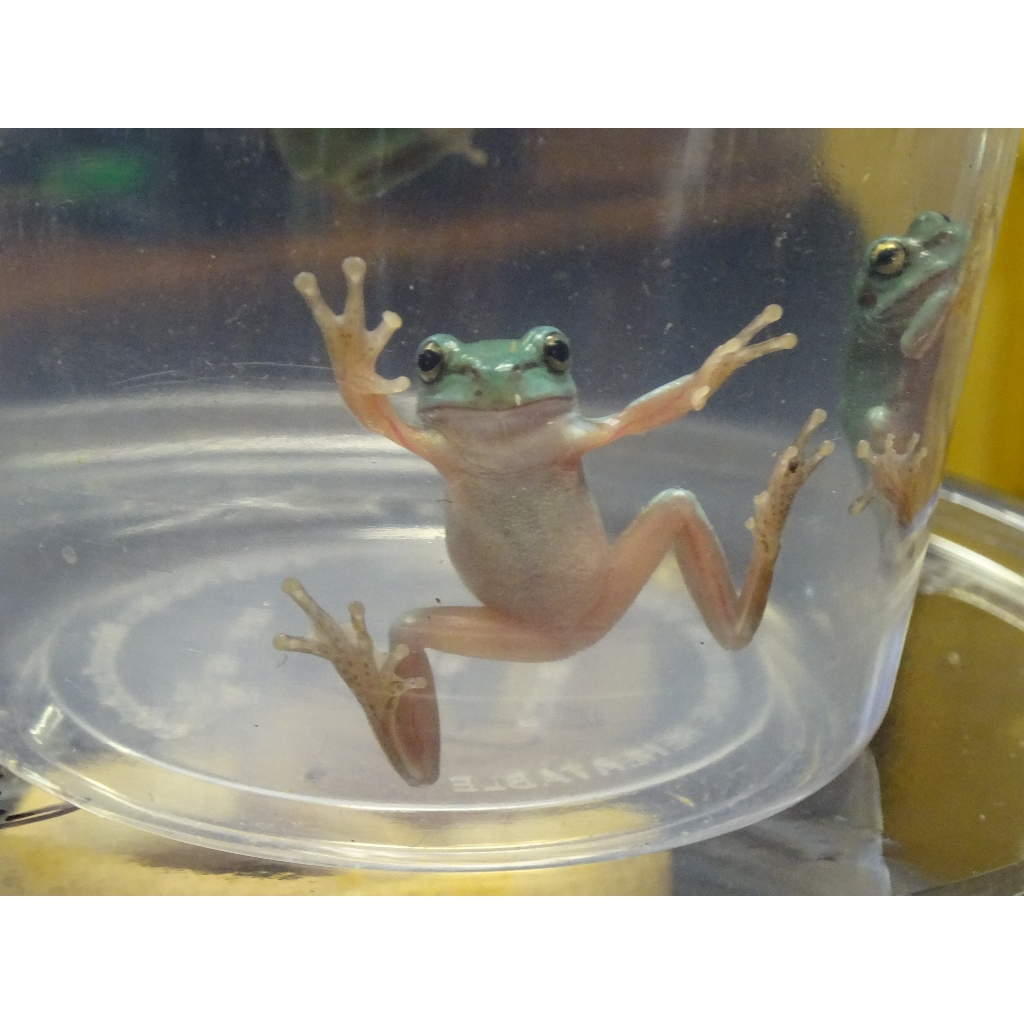 20 Baby Tree Frog Pictures and Ideas on Carver Museum