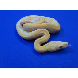 Albino Lavender Tiger Reticulated Python baby