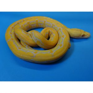 Albino Purple Super Tiger Reticulated Python baby