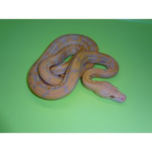 Albino Purple Tiger Reticulated Python