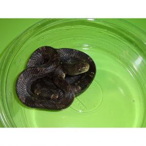 Black Rat snake juvenile