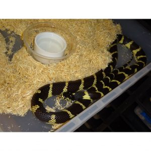 California Kingsnake adult