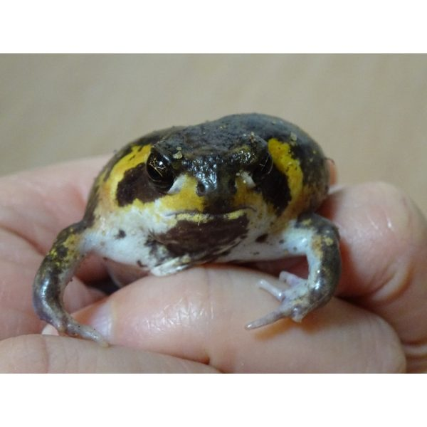 Mossambic Rain Frog in hand